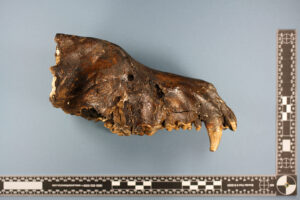 Fossil skull of Canis virus (dire wolf)
