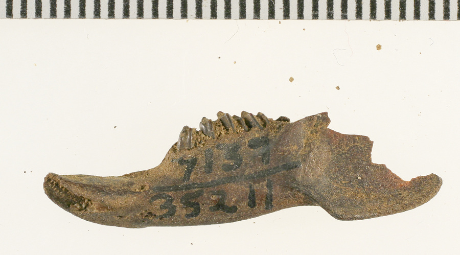 Fossil of cottontail rabbit jaw fragment