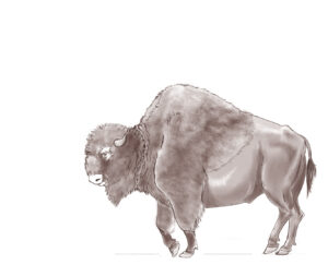 Bison antiques drawing