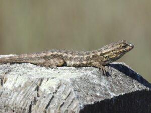 close up Western fence lizard