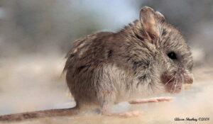 grasshopper mouse