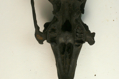 10.-Sylvilagus-bachmani-Cottontail-rabbit-skull-with-upper-dentition-35221