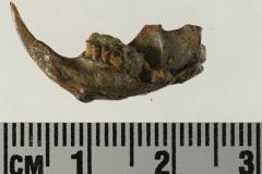 8.-Thomomys-pocket-gopher-jaw-with-teeth-245994